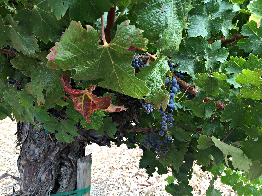 Concannon and Wente Vineyards, California's Pioneers of